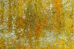 Żółty liszaj na betonowej ścianie Obraz Royalty Free