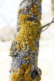 Żółty liszaj na drzewie zdjęcie stock