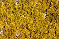 Żółty liszaj na skale (złotorosta parietina) Zdjęcie Stock