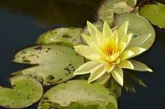 Żółty lotos Zdjęcie Royalty Free