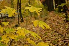 Żółty mały drzewo w lesie Zdjęcie Stock