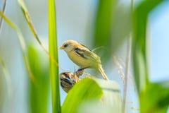 Żółty mały ptak Obrazy Stock