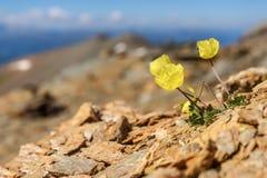 Żółty maczek kwitnie góry zbliżenie Fotografia Stock