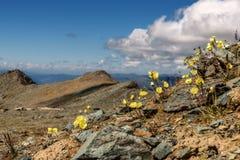 Żółty maczek kwitnie góry zbliżenie Zdjęcia Royalty Free
