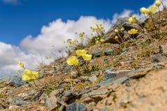 Żółty maczek kwitnie góry zbliżenie Fotografia Royalty Free