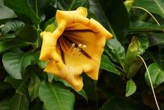 Żółty Madeira kwiat Zdjęcie Royalty Free