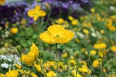 Żółty makowy kwiat Zdjęcie Royalty Free