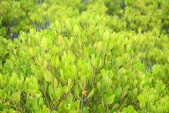 Żółty mangrowe fotografia royalty free