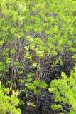 Żółty mangrowe zdjęcia royalty free