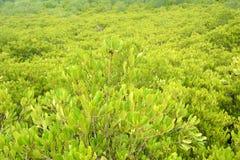 Żółty mangrowe obraz stock