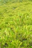 Żółty mangrowe fotografia stock