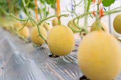 Żółty melon zdjęcia royalty free