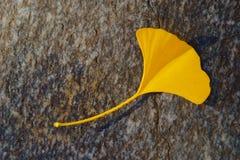 Żółty miłorzębu liść W jesieni Na Popielatym kamieniu Zdjęcia Royalty Free