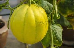 Żółty miodunka melon lub kantalup łupa kolor żółty zdjęcie royalty free