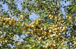 Żółty mirabelki Fotografia Royalty Free