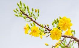 Żółty Morelowy okwitnięcia zbliżenie (Hoa mai) Fotografia Royalty Free