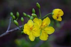 Żółty Morelowy okwitnięcia zbliżenie kwiaty nowy rok (Hoa mai) Obraz Stock