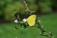 Żółty motyl i biały kwiat Fotografia Stock