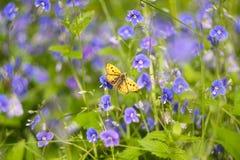 Żółty motyl na błękitnym kwiacie Zdjęcia Royalty Free