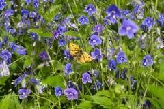 Żółty motyl na błękitnym kwiacie Fotografia Stock