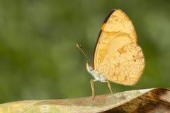 Żółty motyl na brown liściu z zielonego bacground makro- zakończenia up szczegółem obraz royalty free