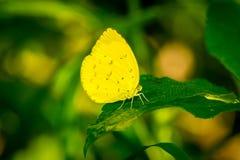 Żółty motyl na zielonym liściu Fotografia Stock