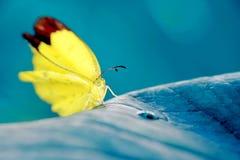 Żółty motyl umieszczający na błękitnym ulistnieniu Obrazy Royalty Free