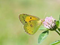 Żółty motyli Colias hyale pal chmurniał na koniczynowym kwiacie Lato czasu krajobraz makro- widok, miękka ostrość Zdjęcie Royalty Free