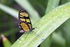 Żółty motyli Dircenna dero na zielonym liściu Fotografia Royalty Free