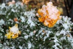 Żółty nagietek w śniegu obrazy royalty free