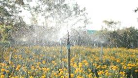 Żółty nagietka pole zdjęcie wideo