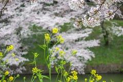 Żółty nanohana i czereśniowi okwitnięcia przy Chidorigafuchi przejściem, Chiyoda, Tokio, Japonia Obrazy Royalty Free