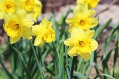 Żółty narcyz zdjęcia stock