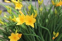 Żółty narcyz Fotografia Royalty Free