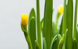 Żółty narcyz na białym tle Fotografia Stock