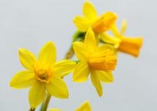 Żółty narcyz na białym tle Obrazy Stock
