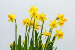 Żółty narcyz na białym tle Zdjęcia Royalty Free