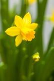 Żółty narcyz na białym tle Zdjęcie Stock