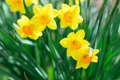 Żółty narcyz w ogródzie Zdjęcia Royalty Free