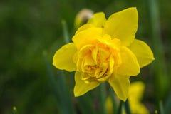Żółty narcyza kwiat na zielonym tle Fotografia Royalty Free