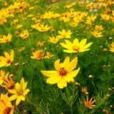 Żółty natura kwiatu łamliwości płatek Fotografia Royalty Free