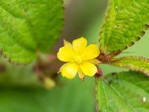 Żółty Niechciany flora kwiat Obraz Royalty Free