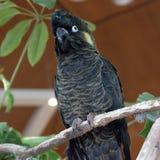 Żółty ogoniasty czarny kakadu Fotografia Stock