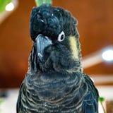 Żółty ogoniasty czarny kakadu Obraz Royalty Free