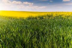 Żółty oilseed gwałta pole i zieleni młoda banatka pod błękitnym b Zdjęcia Royalty Free