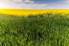 Żółty oilseed gwałta pole i zieleni młoda banatka pod błękitnym b Obrazy Royalty Free