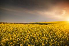 Żółty oilseed gwałta pole pod błękitnym jaskrawym niebem Obrazy Royalty Free