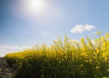 Żółty oilseed gwałta pole pod błękitnym jaskrawym niebem Zdjęcie Royalty Free