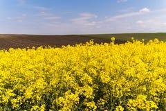 Żółty oilseed gwałta pole pod błękitnym jaskrawym niebem Obraz Stock