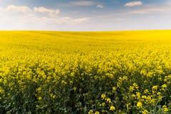 Żółty oilseed gwałta pole pod błękitnym jaskrawym niebem Obrazy Stock